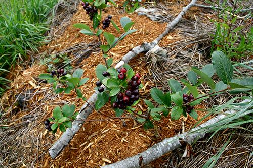 Svart aronia (Aronia melanocarpa) som är ett jättenyttigt bär som smakar bäst efter ett par frostnätter.