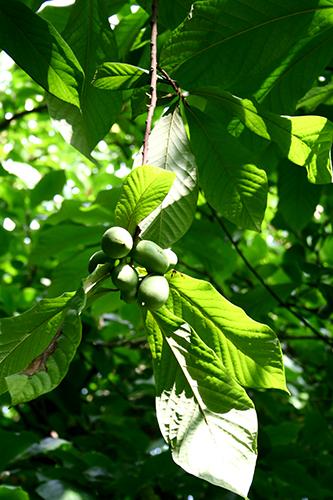 Pawpaw (Asimina triloba) tillhör de mest exotiska frukterna vi kan odla i skogsträdgården. Tyvärr är den inte så härdig och klarar sig i bästa fall i skyddade lägen i odlingszon 3.
