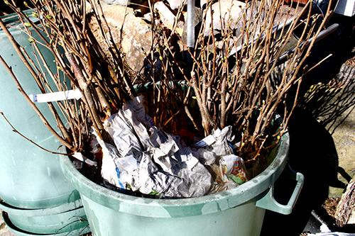 Jag brukar ställa barrotade växter i en regntunna för att minska torkstressen för dem.
