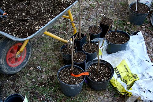 Jag använder helst ekologisk plantjord blandad med lite vermikulit när jag sätter mina barrotade växter i kruka.