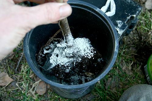 Vissa växter ympar jag med en mykorrhizakultur, men meningarna går isär om det verkligen funkar.