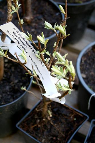 Bisonbär (Sheperdia argentea) är en kvävefixerande buske med ätliga bär.