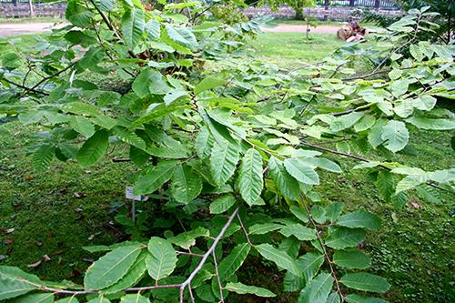 Kinesisk kastanj (Castanea mollissima), en het kandidat för en stärkelserik skogsträdgårdsväxt på nordliga breddgrader.