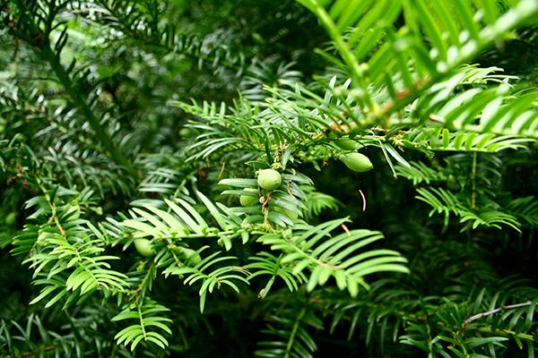 Cephalotaxus (Plum yew på engelska) trivs bra i det maritima klimatet i Martin Crawfords skogsträdgård.