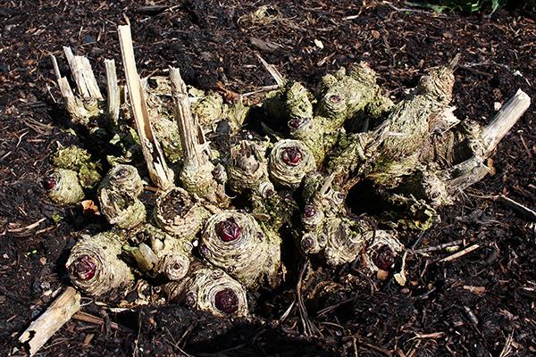 Stäppkål (Crambe cordifolia) är en av de fleråriga kålsläktingarna som är härdigast.