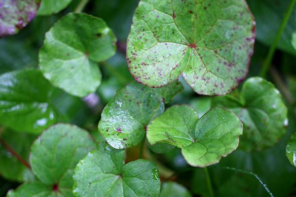 Waagen Säure (Oxyria digyna) ist eine der widerstandsfähigsten mehrjährigen Gemüse und Hemmende Klasse A stuft.