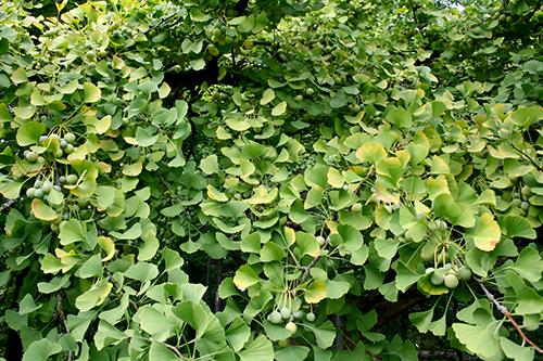 Det nötbärande ginkgo-trädet (Ginkgo biloba)