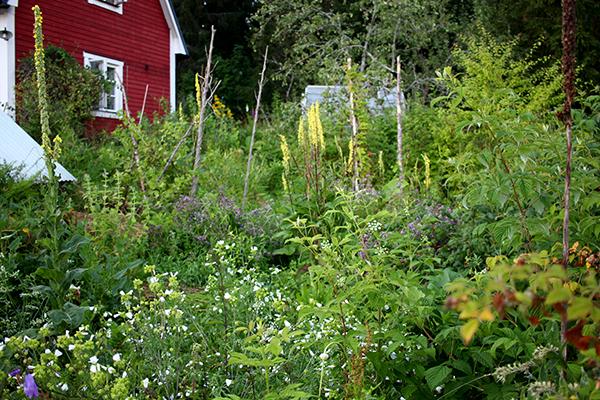 De känsligare växterna odlar vi i vår hemträdgård i Hälsingbo som har ett mycket bra mikroklimat.