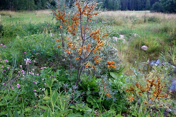 Sorten 'Botnia Guldklimp' gav bra med frukt i år. Här syns det tydligt hur bären sitter på fjolårsveden.