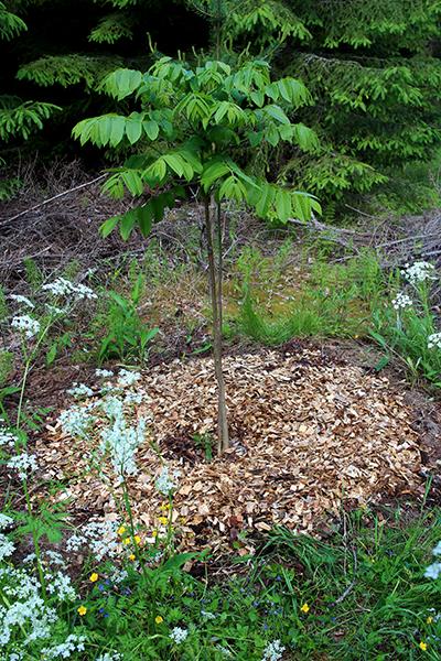Denna hjärtnöt (Juglans ailanthifolia var. cordiformis) kommer denna säsong bli över 2 meter hög och har aldrig råkat ut för några köldskador. Den planterades 2013.