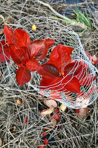En vackert höstfärgad aroniabuske skyddas av hönsnät.