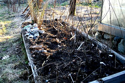 De barrotade plantor vars rötter som inte får plats i krukor sätter jag ner i luckor jord tills de ska planteras ut på sin slutgiltiga växtplats.