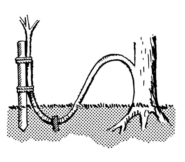 Så här kan man föröka exempelvis hassel med hjälp av avläggare. Källa: Foresman, P.S. Line art drawing of ground layering, Wikimedia Commons.