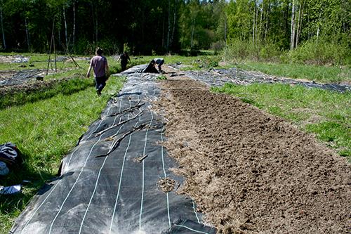Så här ser jorden ut när man lyfter på markväven. Det är endast dött organiskt material kvar på ytan, perfekt för maskarna. Men i jorden finns det även otaliga ogräsfrön som kan ställa till med problem.