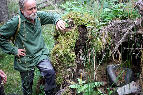 Ett perfekt ställe för en ny hasselbuske, tycker Ove Johansson och trycker ner en nöt i mineraljorden.