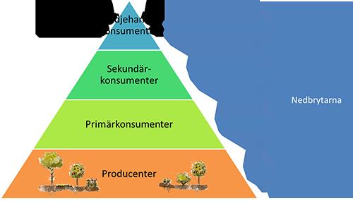 En förenklad näringspyramid som visar att nedbrytarna i slutändan tar hand om den mesta produktionen som sker i ett ekosystem.