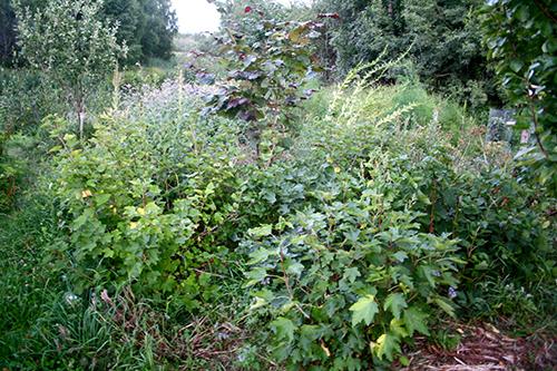 Inga erosionsproblem lär uppstå kring denna hasselbuske i en skogsträdgård i Rågsved (Stockholm)