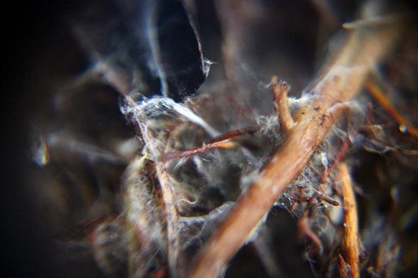 Svamphyfer under förstoringsglaset. Med de här pyttesmå trådarna kan svamparna transportera kväve och andra ämnen direkt mellan olika växter och får sockerlösning i utbyte.