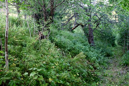 En sluttning med skogsträdgårdskaraktär alldeles nedanför den blivande skogsträdgården. Ett stort körsbärsträd växer tillsammans med röda vinbär, hallon och mängder av älggräs. Så här kan det se ut i skogsträdgården om några decennier.