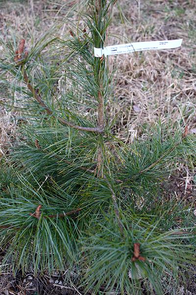 Vanlig koreatall (Pinus koraiensis) tar lätt 30 år på sig innan den ger frukt för första gången.