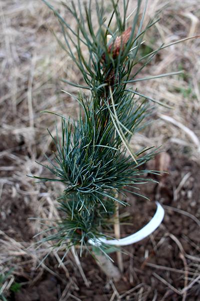 Denna korratall med blå barr (Pinus koraiensis 'Glauca') ska ge frukt något tidigare än vanlig koreatall.