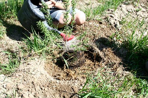 Det är viktigt att vattna ordentligt vid planteringen för att ge rötterna en bra kontakt med den omgivande jorden.