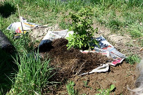 Jag täcker ungefär en meter runt alla plantor jag planterar, antingen med täckväv, tidningar eller wellpapp som jag sedan täcker med någon form av organiskt material.