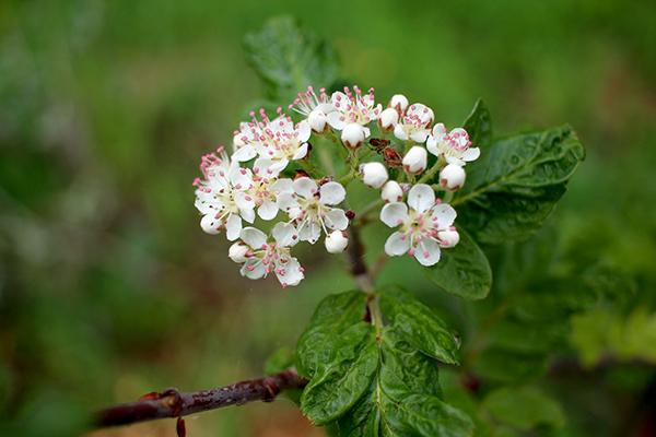 'Desertnaja' är en korsning mellan 'Likornaja' och mispel. Tyvärr blev det aldrig några frukter av de här blommorna.
