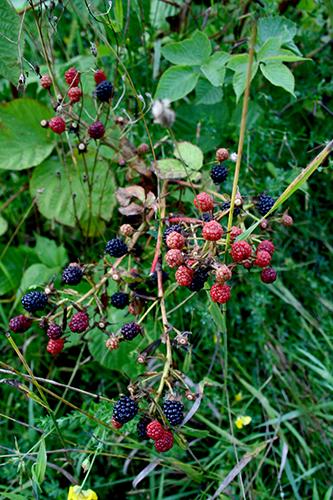 Sibiriskt björnbär (Rubus fruticosus)
