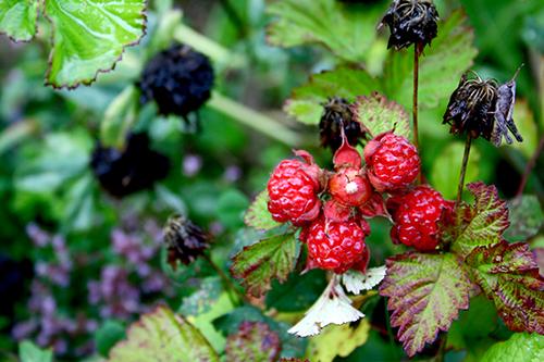 "Hallonhybriden ""Dorman Red"" (Rubus parvifolius x idaeus)"
