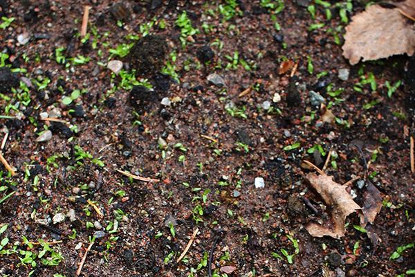 Hässleklocka (Campanula latifolia)