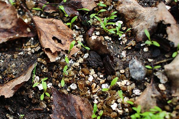 Sockerrot (Sium sisarum)