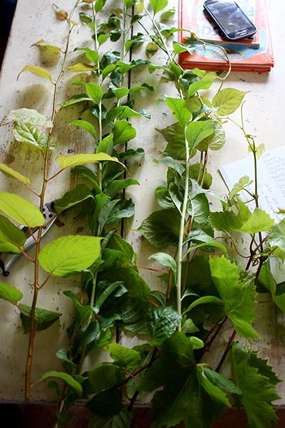 En mängd med sommarsticklingar som behöver klippas till rätt längd och rensas från överflödiga blad.