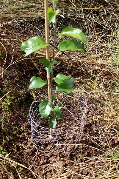 Detta nyplanterade äppelträd skyddas av förzinkat sexkantsnät.