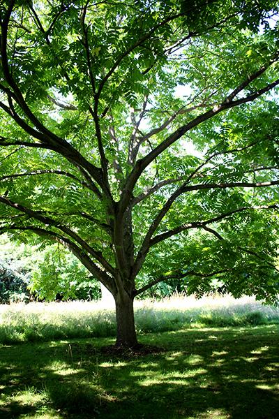 I landskapsplanteringar används gärna stora träd för att snabbt ge ett uppväxt intryck. Dessa har dock en mycket längre etableringstid än små träd och kostar dessutom mycket pengar.
