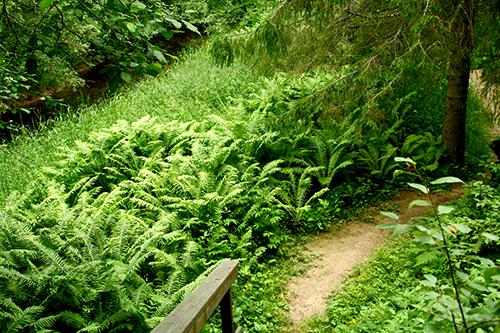 I Säterdalen i södra Dalarna trivs strutbräken riktigt bra. De här exemplaren blir nästan 180 cm höga.