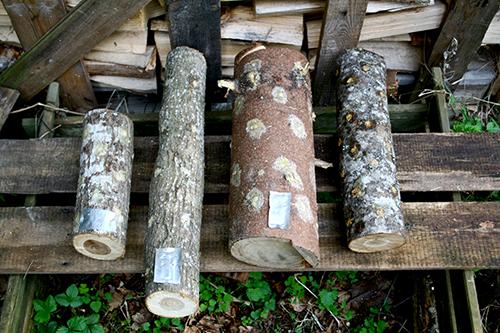 De färdiga stockarna lagras på en skuggig och gärna lite fuktig plats, dock inte med kontakt mot jorden. Stockarna är märkta med små aluminiumplåtar som vi tillverkat av gamla ölburkar. Om kanske ett år kan vi skörda de första svamparna!