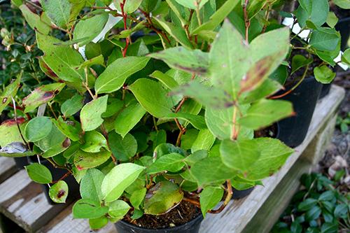 Vaktelbär (Gaultheria shallon) är en släkting till blåbär med stor potential.