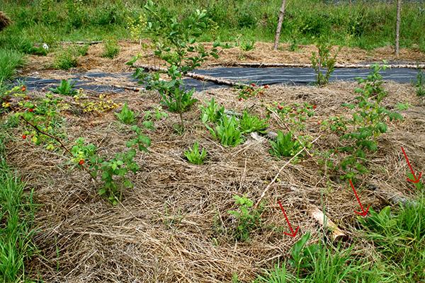 Vallört lämpar sig mycket väl som kantbarriär för att förhindra intrång av rotogräs. I den här polykulturen är vallörtsplantorna (röda pilar) fortfarande små, men snart kommer de att bilda en närmast ogenomtränglig barriär.
