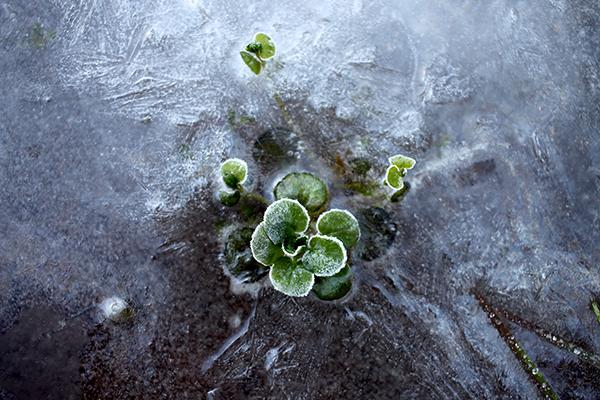 WATERCRESS (Nasturtium officinale) Hemmende Klasse D gehören, und ist eines der am wenigsten Staude Gemüse. Seine relative Nasturtium microphyllum (Nasturtium microphyllum) Doch viel robustere und wächst in Strömen weit oben im Land Wild.