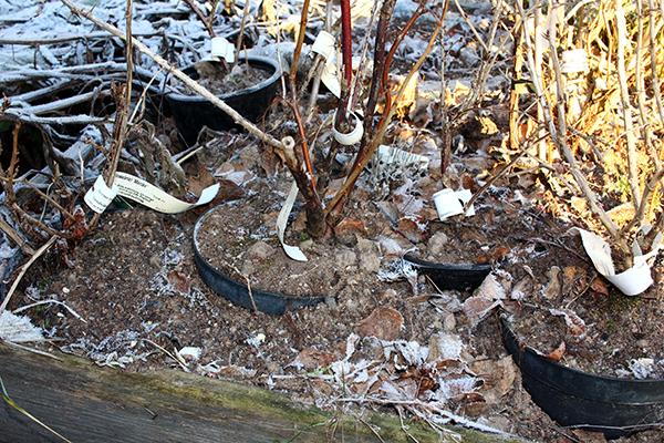 Mindre känsliga växter gräver vi ner i lucker jord med krukan kvar. Det kan vara värt att täcka jorden med halm eller löv för att skydda den lite extra.