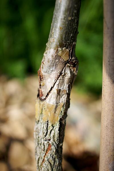 Här syns det tydligt att hasselsorten är ympad på en grundstam av trädhassel (Corylus colurna)
