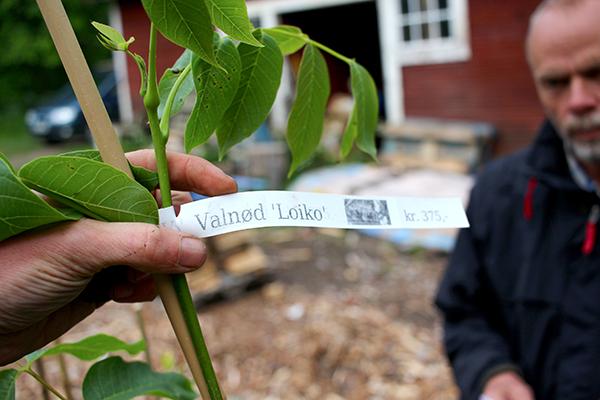 Esbjörn Wandt är med och tar emot den efterlängtade leveransen av nötträd från Westergaards plantskola.