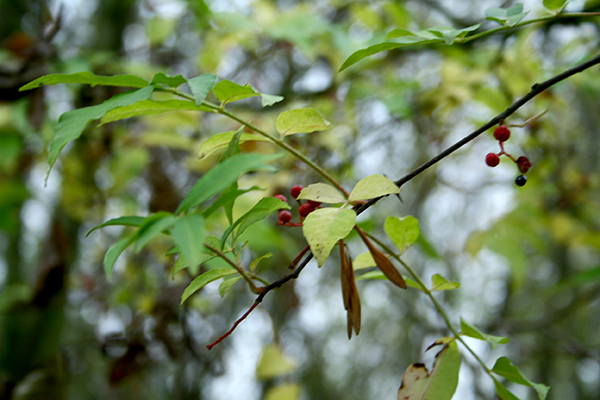 The US pepper tree (Zanthoxylum americanum) produces fruit (if slightly) even in fairly deep shade.