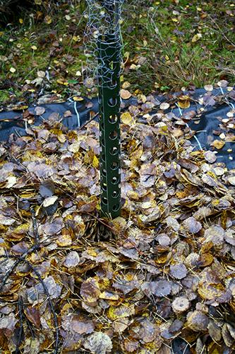 Det ömtåliga hjärtnötsträdet (Juglans ailanthfolia var. cordiformis) skyddas av ett tjockt täcke löv runt stammen.