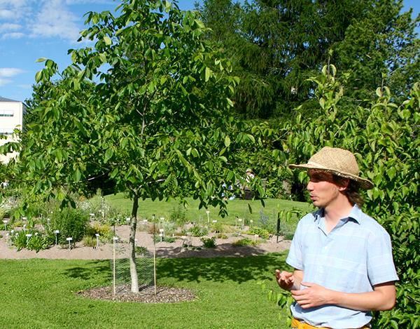 Martin Gustafsson visar upp den äkta valnöten Loiko på Uppsala botaniska trädgård.