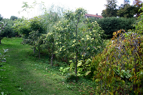 Ett kastanjträd med fina nötter i Mandelmanns trädgårdar på Österlen.