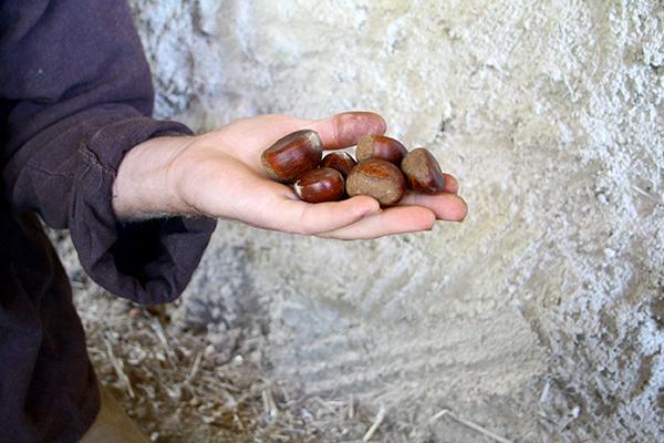 Så här stora och fina kastanjer kan man hitta i det vilda om man har tur. De här är insamlade i Georgien av Tycho Holmcombe som reste dit för att hitta härdiga nötträd.