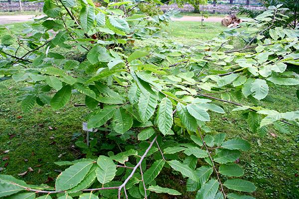 Kinesiskt kastanj i en botanisk trädgård i Tyskland. Kanske går den att odla även i Sverige.