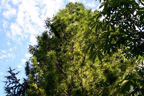 Nöttallar kan bli rätt ståtliga och det gäller att tänka efter vid placeringen, så att de inte förstör för de andra växterna i skogsträdgården. Att plantera en lähäck mot norr med nöttallar är till exempel en god idé.